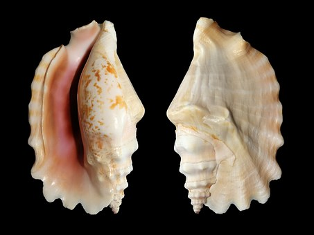 Conch.