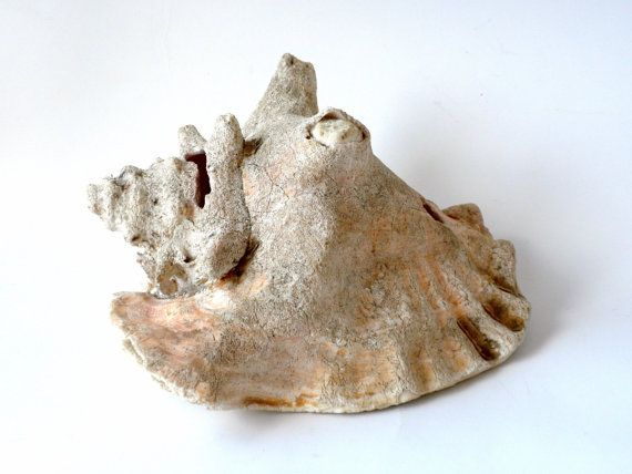 1000+ ideas about Conch Shells on Pinterest.