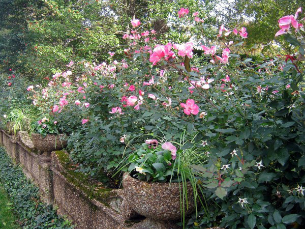 How To Prune 'Knock Out' Rose.