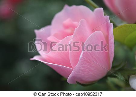 Stock Photography of Soft Pink Rose.