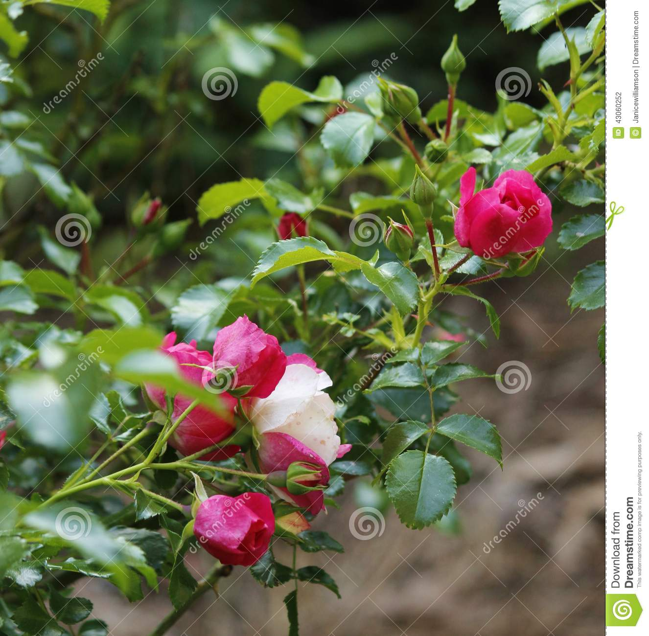 Pink Fuschia Variegated Knockout Roses And Buds Stock Photo.