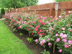 Knock Out Rose: This single plant has forever changed our view of.