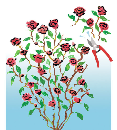 Getting roses into shape: a primer on rose pruning.