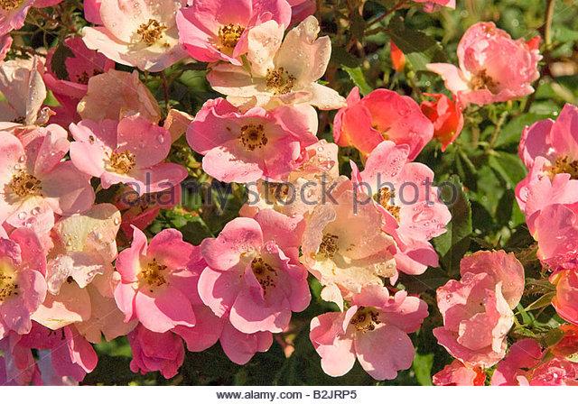 Pink Knockout Rose Stock Photos & Pink Knockout Rose Stock Images.