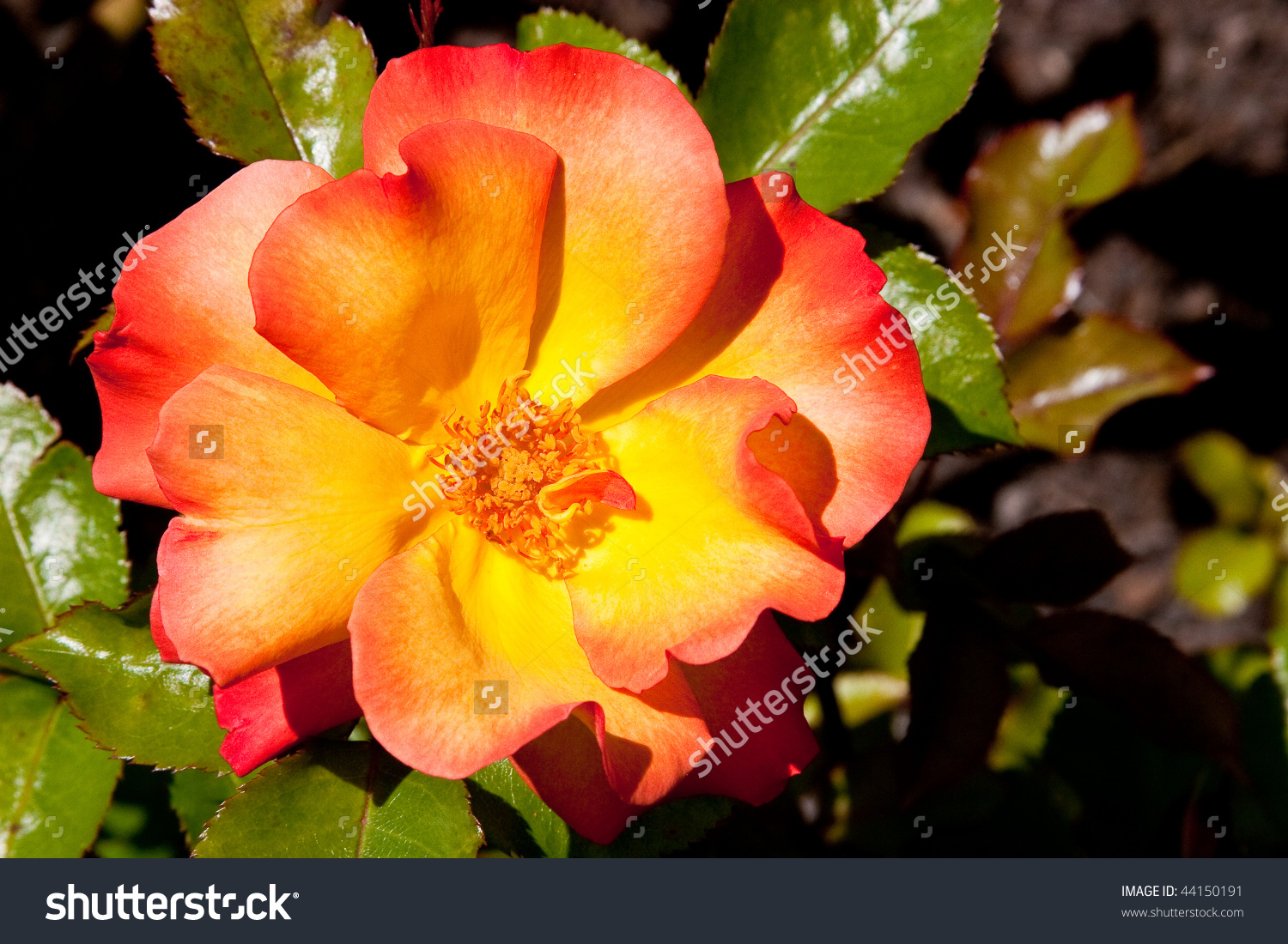 Knock Out Rose Of Yellow, Orange And Red Stock Photo 44150191.