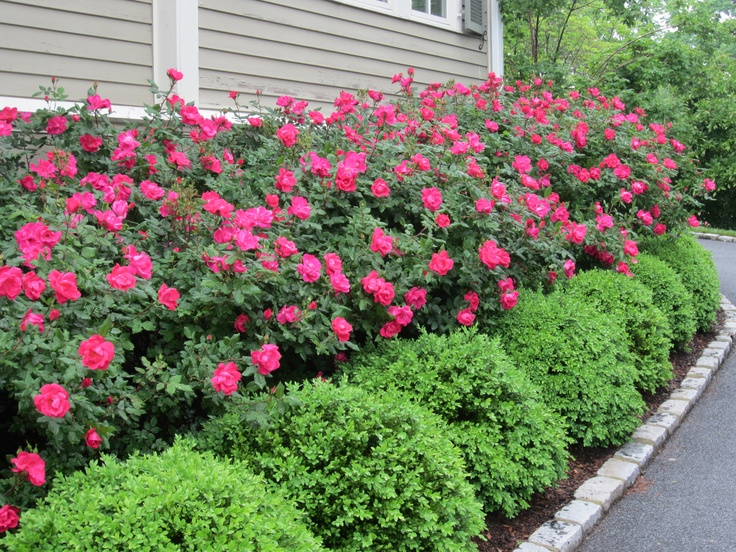 landscaping with boxwoods.
