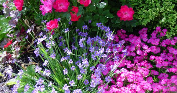 Knockout roses and Lavender.