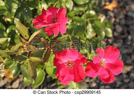 Stock Photo of Three Knock Out Roses.