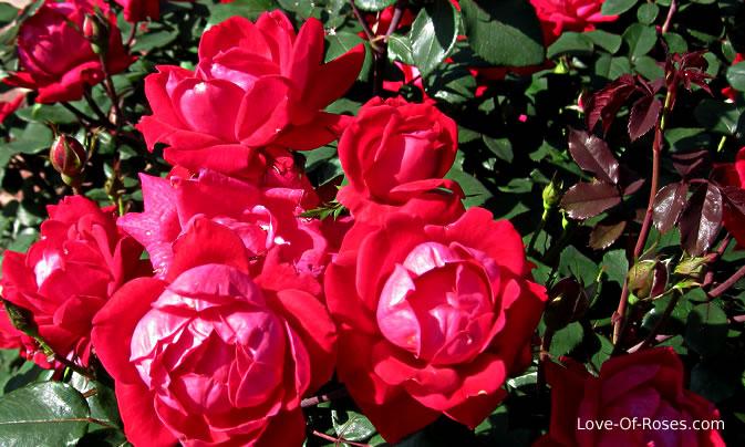 Knockout Roses.
