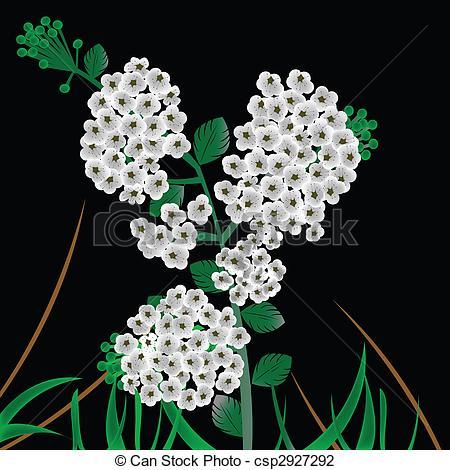 Clip Art of Spiraea vanhouttei.