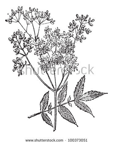 Meadowsweet Or Filipendula Ulmaria, Vintage Engraved Illustration.