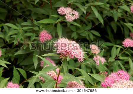 "pink Spiraea"" Stock Photos, Royalty."