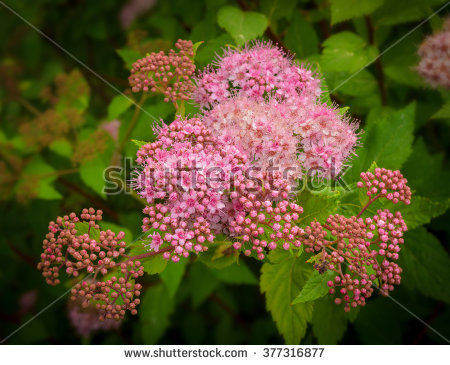 Meadowsweet Flowers Stock Photos, Royalty.