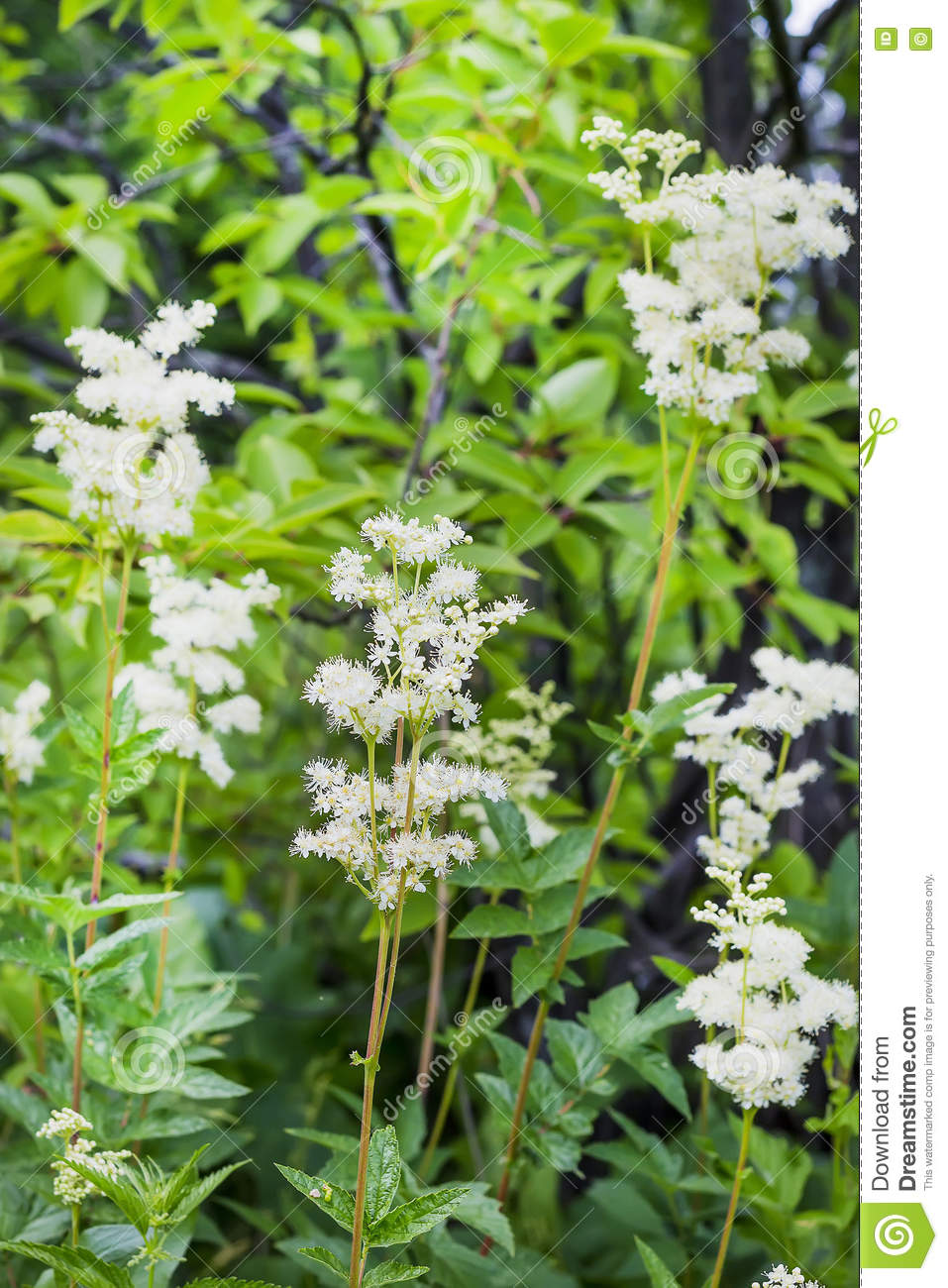 Flowering Meadowsweet (Latin Name Filipendula Ulmaria) Stock Photo.