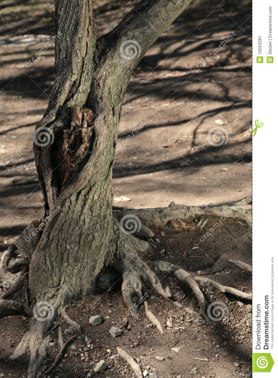 Old Tree With Knothole Stock Image.