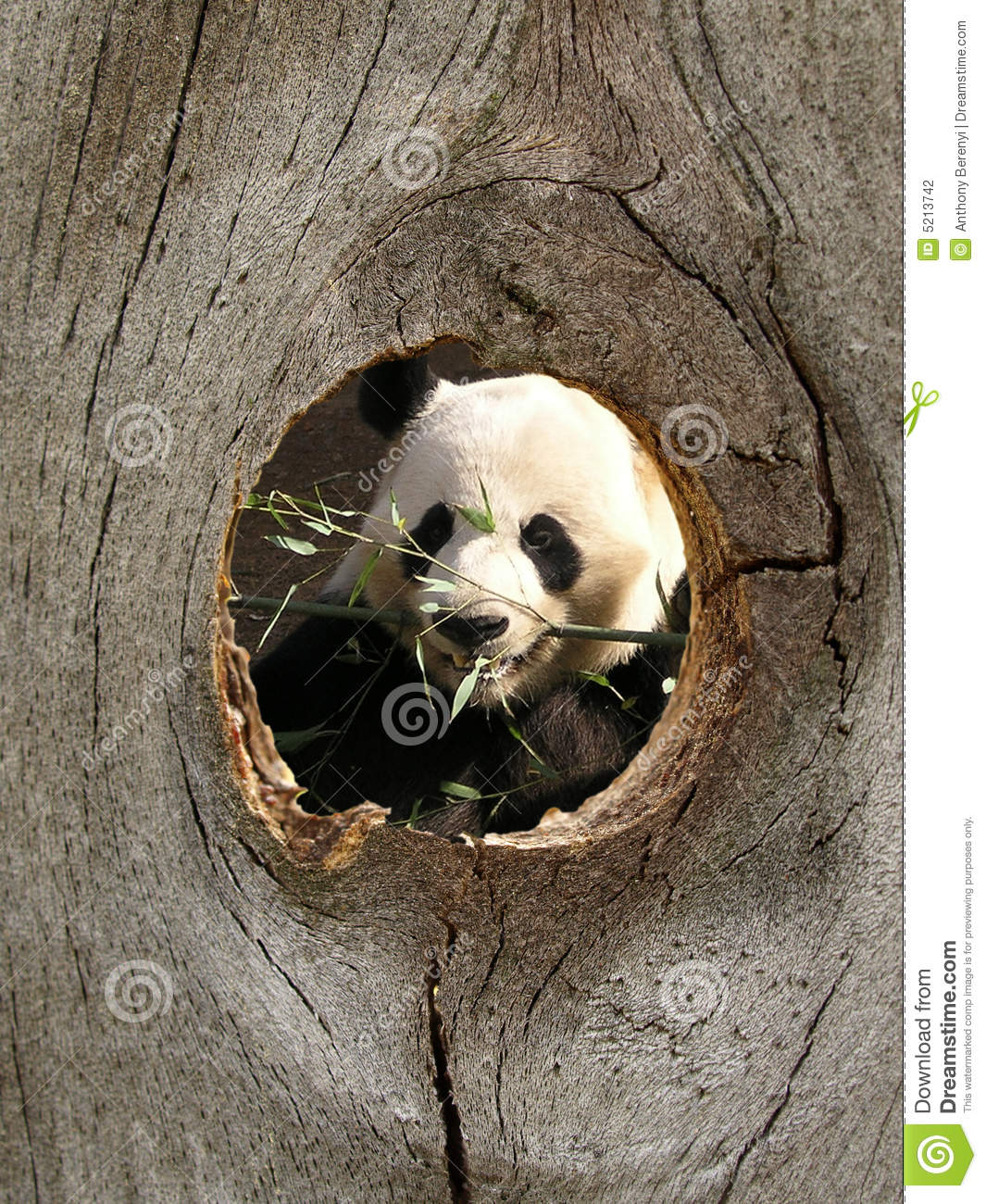 Panda Zoo Animal In Fence Knot Hole Stock Photography.