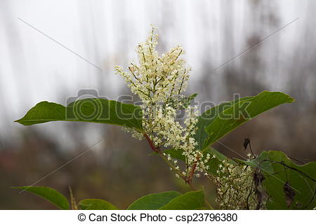 Pictures of Japanese Knotweed.