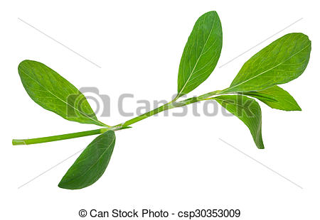 Stock Photography of Medicinal plant. Knotweed or polygonum.