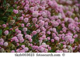 Knotweed Stock Photos and Images. 118 knotweed pictures and.