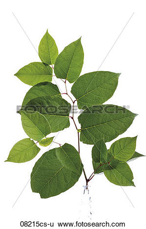 Stock Images of Leaves of the Japanese knotweed (Fallopia japanica.