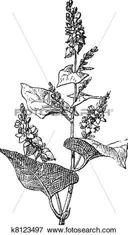 Clip Art of Knotweed or Polygonum, vintage engraving. k8123497.