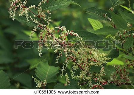Stock Image of Japanese knotweed u10551305.