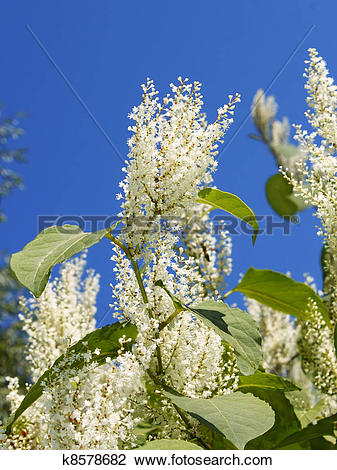 Clip Art of Giant Knotweed in Autumn k8578682.