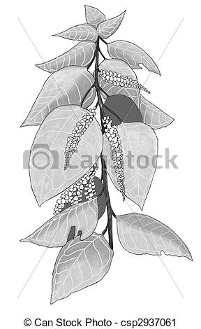 Clipart of Japanese Knotweed.