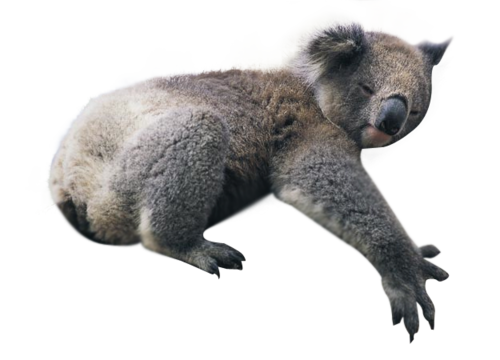 Koala PNG Image With Transparent Background.