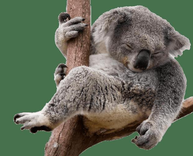 Napping Koala Bear In Eucalyptus Tree transparent PNG.