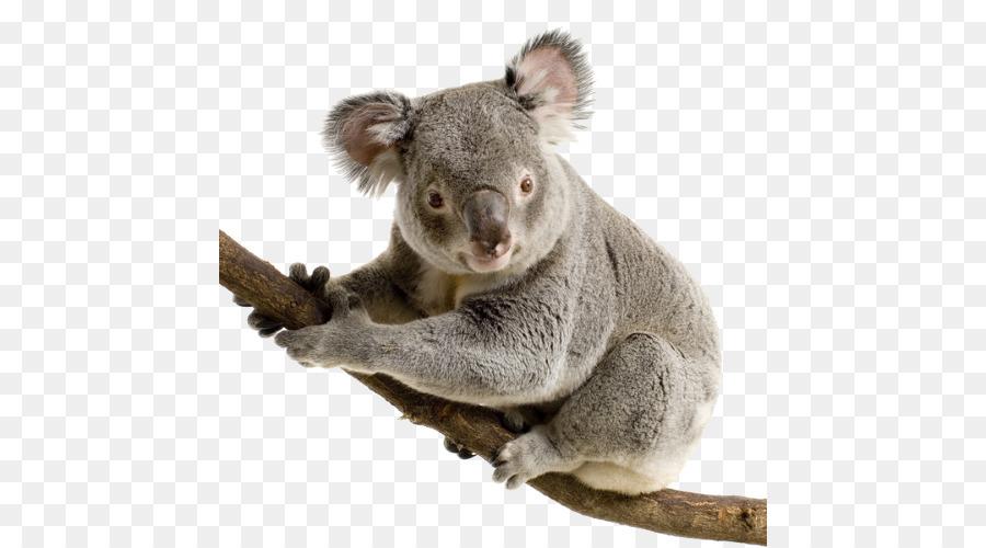 Koala Png Images & Free Koala Images.png Transparent Images #18423.