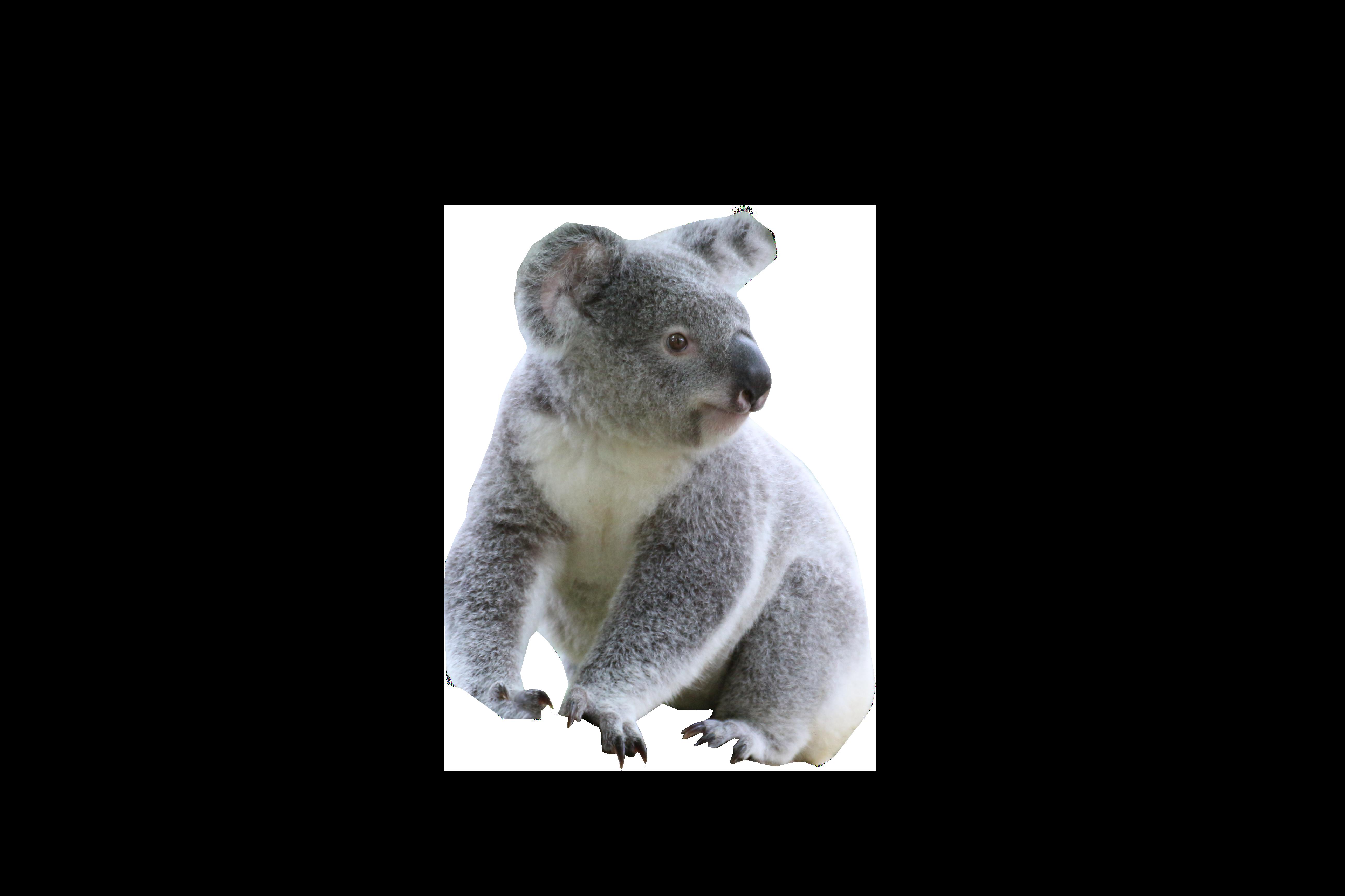 Cute Koala PNG Image.