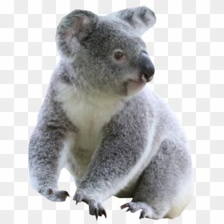 Koala PNG Images, Free Transparent Image Download.