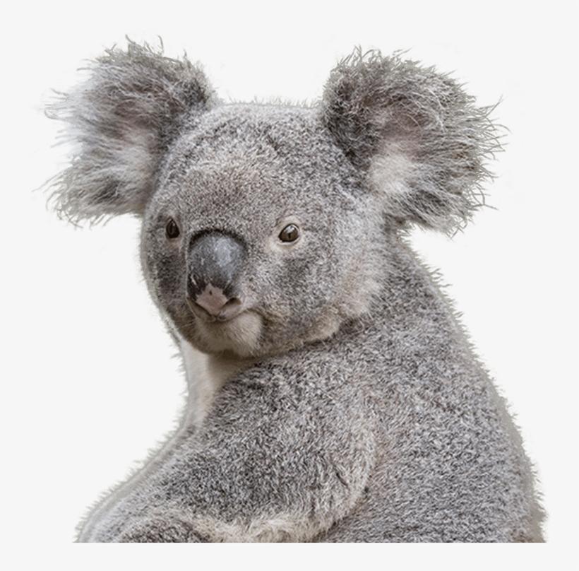Koala Transparent Png Clipart.