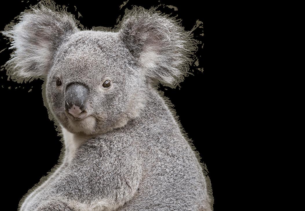 Koala Face Free PNG Transparent Photo.