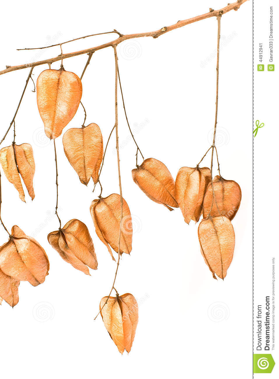 Golden Rain Tree Seed Pods (koelreuteria Paniculata) Stock Photo.