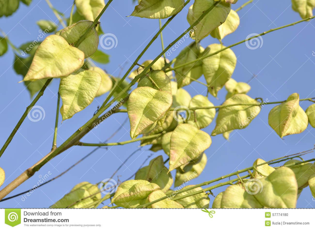 Koelreuteria Paniculata Tree Seed Pods Stock Photo.