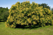 Stock Images of Golden Rain Tree (Koelreuteria paniculata.