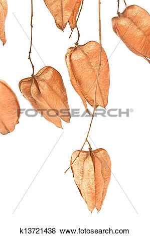 Pictures of Golden Rain tree seed pods (koelreuteria paniculata.
