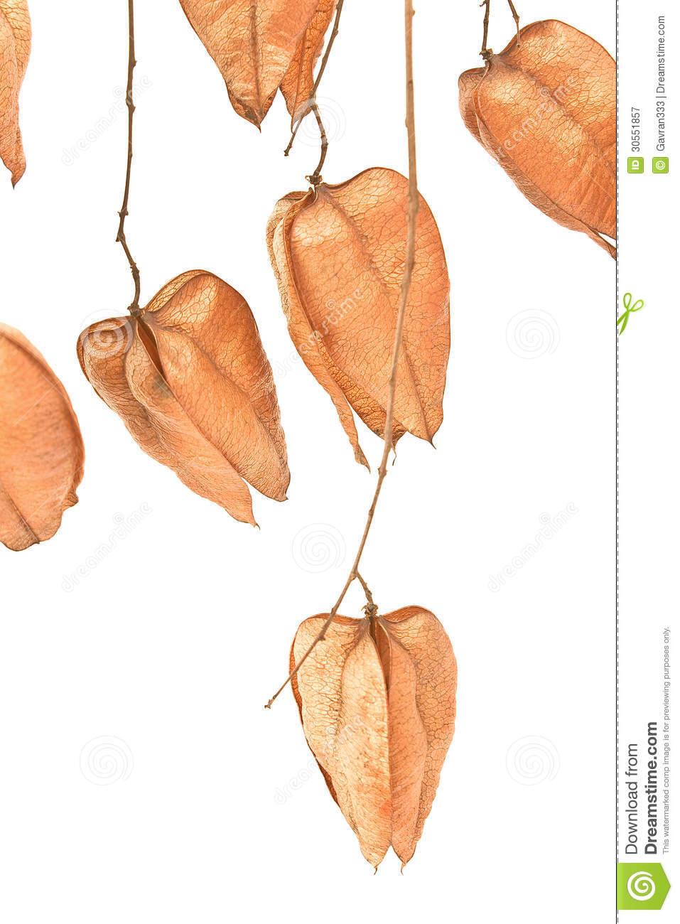 Golden Rain Tree Seed Pods (koelreuteria Paniculata) Royalty Free.
