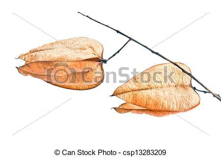 Stock Photography of Golden Rain tree seed pods (koelreuteria.