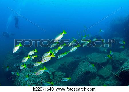 Stock Photography of School snapper fish underwater in Koh Tao.