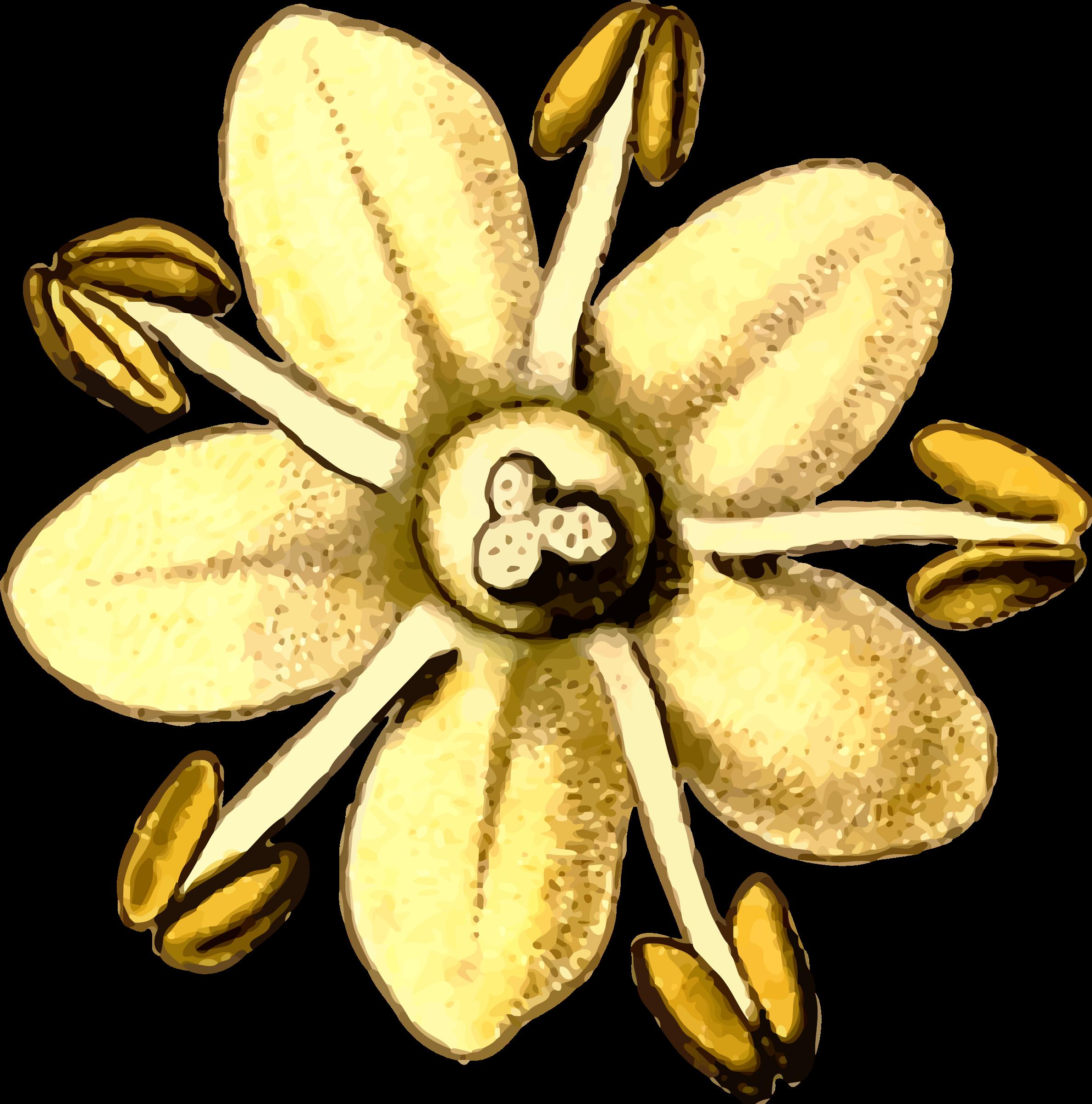 Elderflower by @Firkin, From a drawing in \'Medizinal.