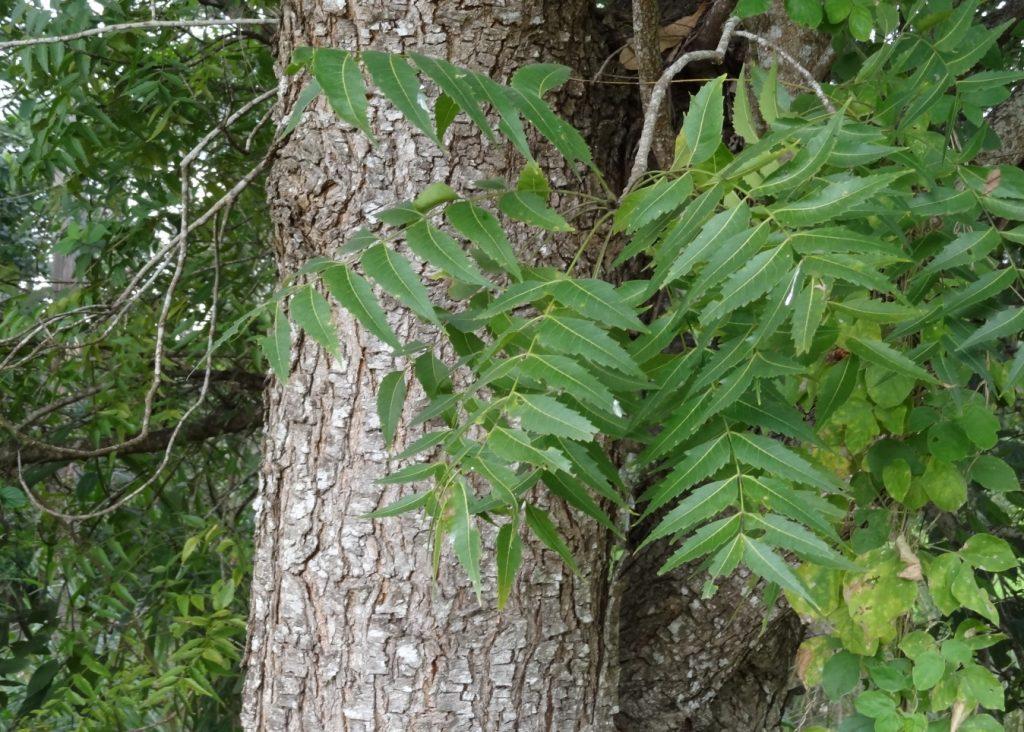 Kohomba Tree Clipart Clipground