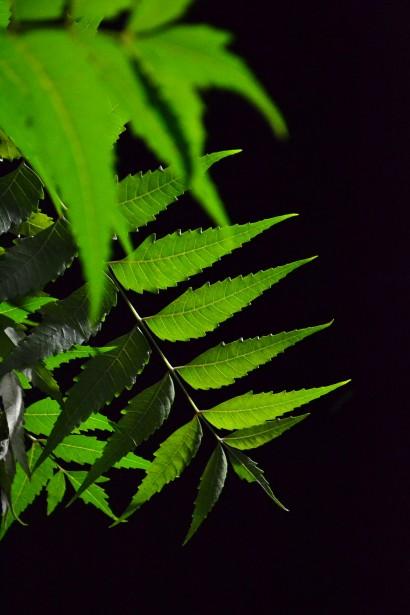 Kohomba Leaf Free Stock Photo.