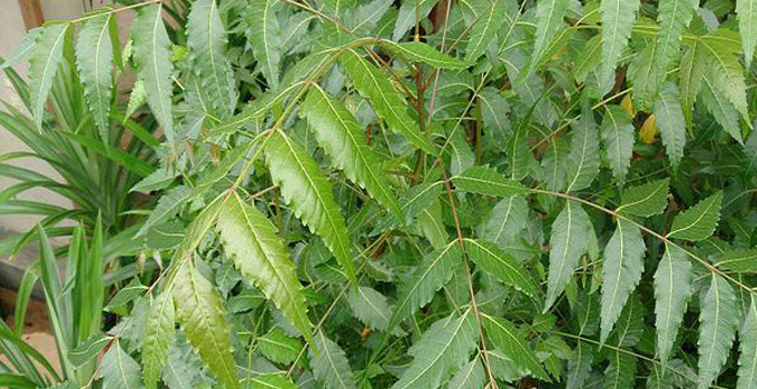 Neem and its Health Benefits.