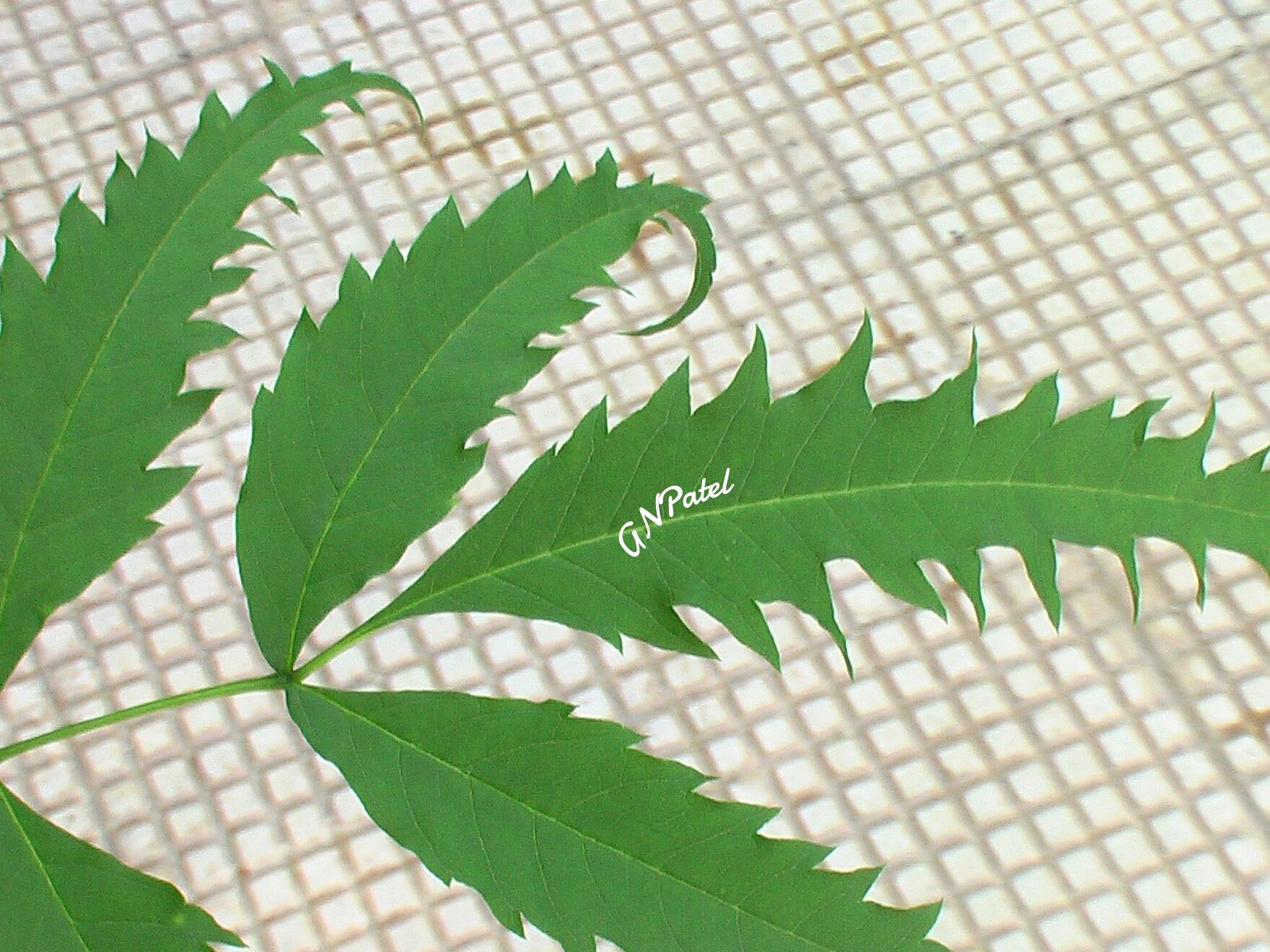 Neem Leaves Related Keywords & Suggestions.