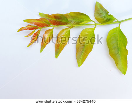 Margosa Tree Stock Images, Royalty.