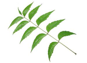Uses and Benefits of Neem Tree, Neem Leaves, Neem seeds & Neem Bark.
