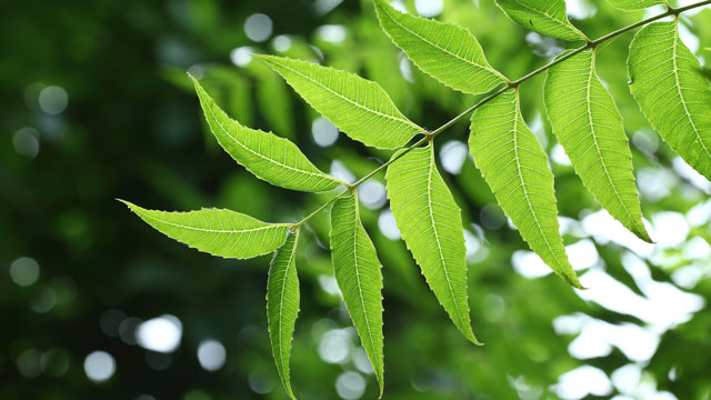 """Benefits and Uses of Neem, the """"Wonder Leaf""""."""